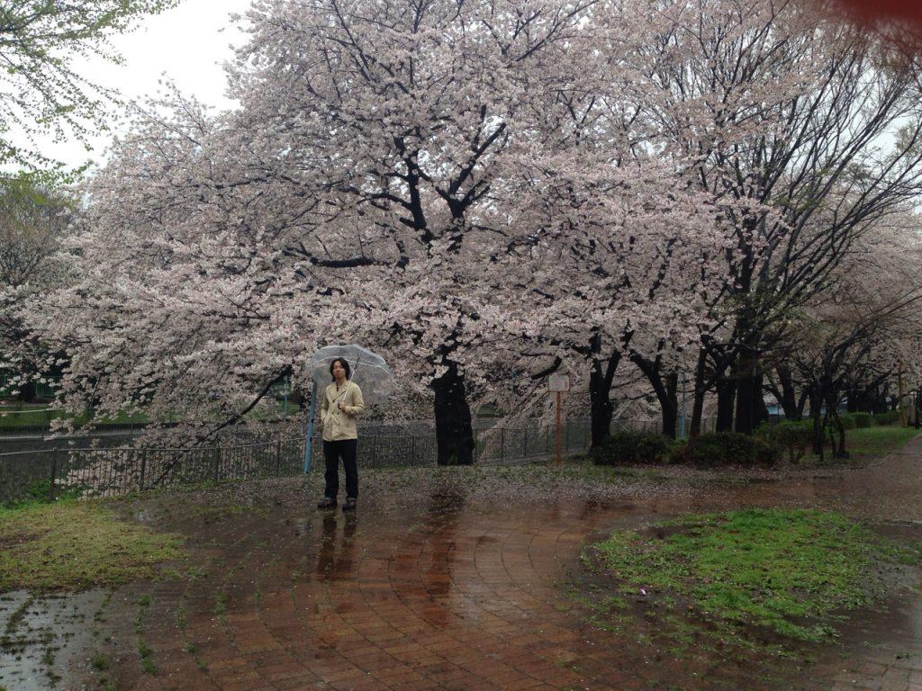 飴が降っても素敵な 善福寺川緑地公園の桜スポット