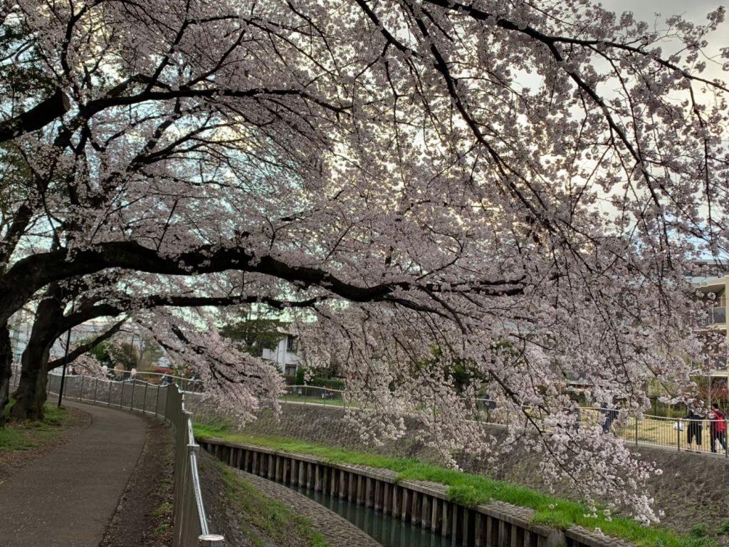 細長い河川沿い 善福寺川緑地公園のお花見スポット 2