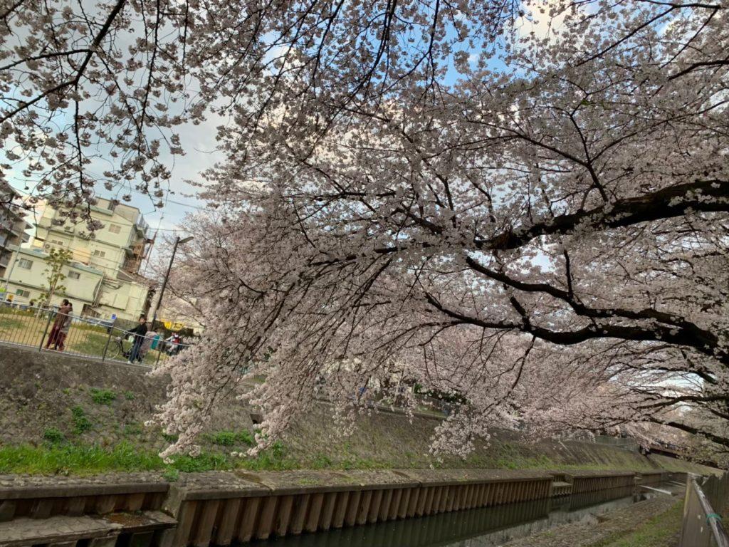 細長い河川沿い 善福寺川緑地公園のお花見スポット 3