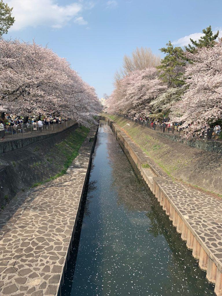 五日市街道側から見た、桜