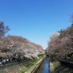 善福寺川緑地公園の桜スポット