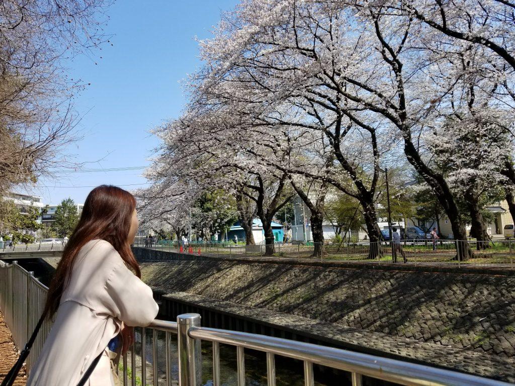 細長い河川沿い 善福寺川緑地公園のお花見スポット
