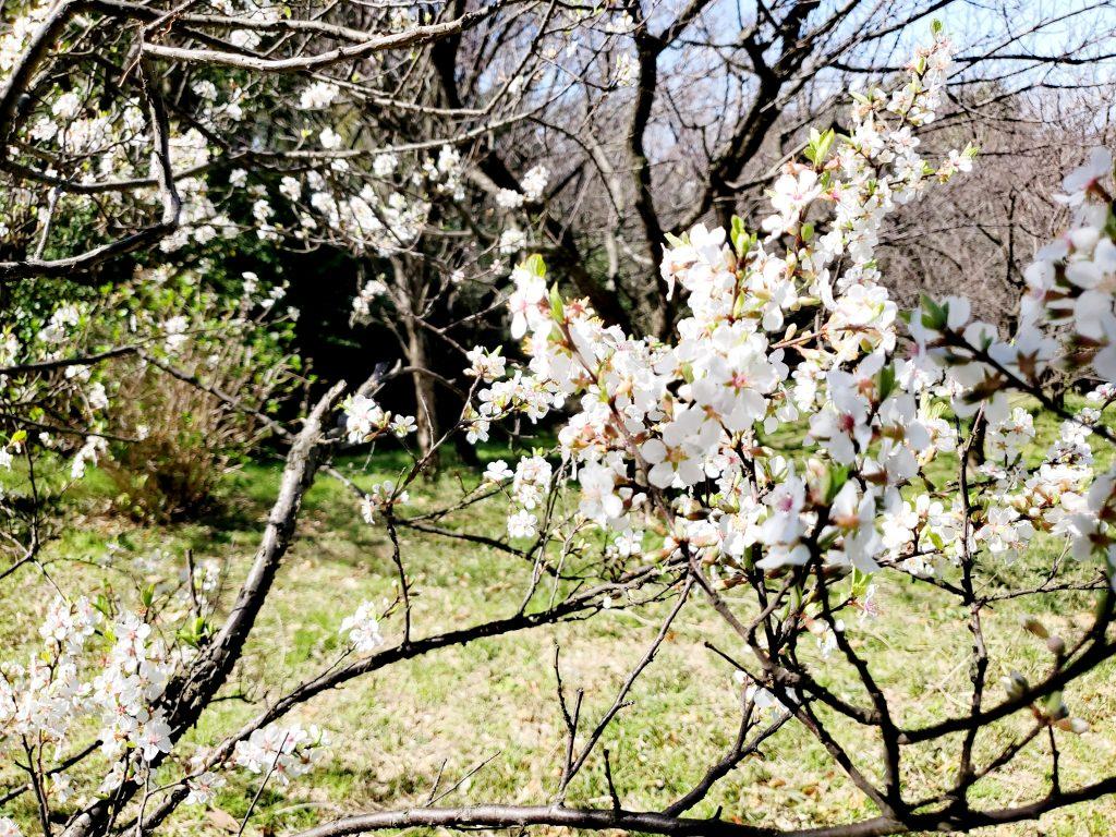 既に葉桜になりつつある桜も発見